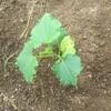 【40から始める家庭菜園日記 5日目】今回は、キュウリの移植に挑戦します「風で折れてしまうので注意が必要!」
