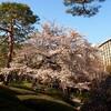 八芳園の桜