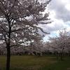 仙台 西公園 桜 とラーメン二郎