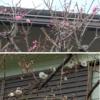 立春も末候 梅がもうすぐ満開です   樹木ウオッチング(4)ヤマモモ