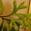 マウントキッチャクードの胞子葉が成長中。