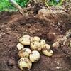 ジャガイモの収穫! アヒージョ!
