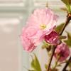 アトリエの八重桜 cherryblossom