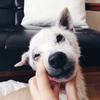 前庭疾患再発…老犬との暮らしは日々病気との戦いです