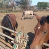 (動画)ますます可愛い仔馬(173&174鞍目)