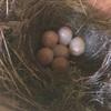 Robin(ロビン)② 卵6個