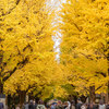 【2019年】東京大学の銀杏並木が見頃を迎えます