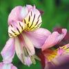 今日の誕生花「アストロメリア」独特の色合いでインカのユリと呼ばれてる!