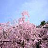 ウイルスに不安なこんなご時世でも京都の桜はきれいだった