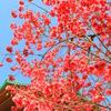 上野公園の桜たち