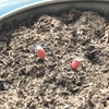 ガーデニング:サボテンの発芽確認から約2週間後