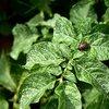 ジャガイモ栽培 発芽〜芽かきと追肥