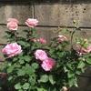 バラ真っ盛り ! 鉢バラ
