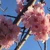 そして性懲りもなく また庭に穴を掘った ~ロサンゼルスの桜