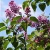 「ライラック・リラ」の花が、5月の空に…。