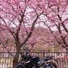 冬のツーリング 河津桜を見に伊豆へ!