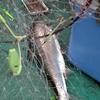カレイ釣り場でのサクラマス