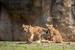 八木山動物公園のニューカマー、ライオンコンビの「サン」と「なお」に会ってきた