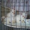 神戸市北区北五葉で保護した白い仔猫たちです。
