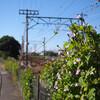 線路沿いのホシアサガオ