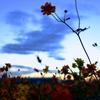 花の海のキバナコスモスが満開