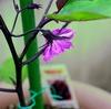 【プランター栽培】ナスの育て方(千両二号) 苗の植え替えから一番花の開花まで