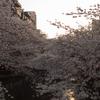 雨予報が晴れたから夕暮れと桜。