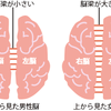 男脳 と 女脳