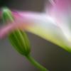 一番早く咲くスカシユリ:ロリーポップ