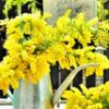 春を告げる花「ミモザ」で簡単リースを作りました♪