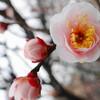 小村井香取神社、香梅園+紅梅殿(亀戸天神社)