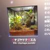 2017/4/21 イノツナ展より:イチゴヤドクガエル