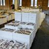 2019年2月19日 小浜漁港 お魚情報