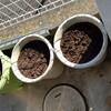 そら豆の定植準備