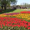 《東京散歩》【立川】昭和記念公園2021年春、チューリップ、ネモフィラ