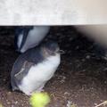 【フィリップ島旅行】ペンギンパレードと自然を満喫!フィリップ島1泊2日 ④