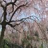 二ヶ領用水の桜 2018年4月1日 たいがい散り始めでした