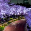 喜多見からレンタカーで花見にいくなら?-東京ミッドタウン・ガーデンさくら通り沿い、ガーデンテラス沿いの夜桜ドライブ!