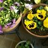 寒さの中、鉢植えにも違いが。