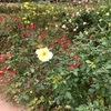 久しぶりにバラを観に公園に行ってみた