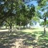 公園のコスモス、今年の台風の影響で・・・