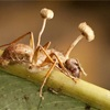 アリに寄生してゾンビ化させるキノコがエグすぎる…