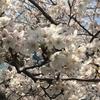 ソメイヨシノの週末と八重桜の始まり