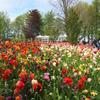【旅行記】アムステルダム 世界最大のチューリップ畑 キューケンホフ公園に行ってきた