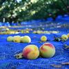 梅干しに使う梅の選び方と、梅の種類による梅干しの違い
