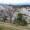 一気に桜が満開になりました♡