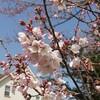 🌸桜🌸咲く✨