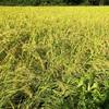 稲刈りが近づく田んぼにヒエ少なし。