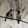 仲の良いタイの鳥たち