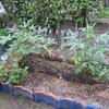 【家庭菜園】今週のオクラ(26~29回目の収穫、37~44本目)